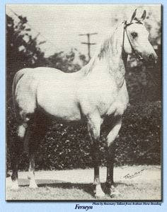 "Ferseyn, foaled May 21, 1937; Bred by W.K. Kellogg Institute, Pomona, CA. ""When *Ferda was twenty-three years old Fred Vanderhoof of Woodlake wanted her, promising to give her special care and feed, which she required at that age. So it was arranged for her to go to Woodlake. She had been bred to *Raseyn before leaving Kellogg's and Ferseyn was the result of this mating."" Successful track and show horse, stood 14.3hh. Aragon carries multiple lines to him."