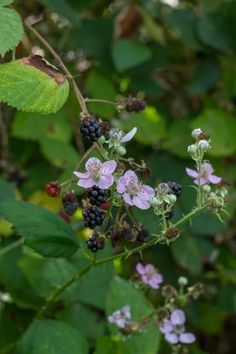 There's nothing quite like picking wild blackberries Brambly Hedge, Berry Picking, Summer Fruit, Fruit Trees, Hedges, Herb Garden, Farm Life, My Flower, Mother Nature