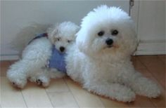 bichon frise puppies - Google Search