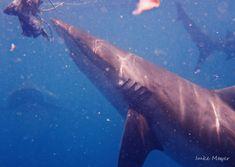 A Bronze Whaler Shark, also known as a Copper Shark.