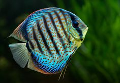 Beautiful Discus fish.