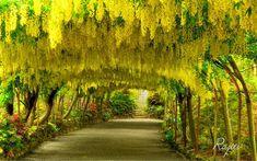 Laburnum Arch,Bodnant Garden,North Wales - Pixdaus. This is breathtaking and unforgettable, a must see.