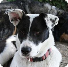 Madera, CA - Border Collie Mix. Meet Jersey, a dog for adoption. http://www.adoptapet.com/pet/16947364-madera-california-border-collie-mix
