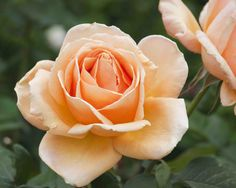 Hybrid Tea rose 'Valencia'