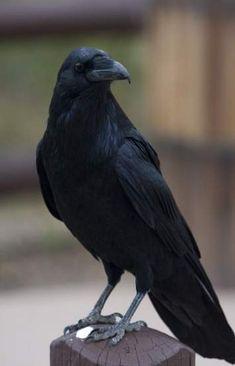 Trendy Black Bird Photography Blackbird - Pets World The Crow, The Raven, Raven Bird, Crow Bird, Animals And Pets, Funny Animals, Cute Animals, Black Animals, Beautiful Birds