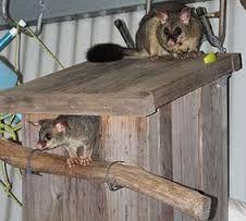 Possum Box Plans Not Just Birds Visit Nesting Boxesa Ringtail Possum Tries One