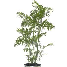 Take a look at this deep green stunner. The Reed Palm and its delicate-looking leaves is perfect for any well-lit indoor spot.
