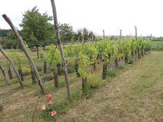 Dieses malerische Foto kommt aus dem Bauerngarten Parbus, man beachte die Pflanzen zwischen den Weinstöcken. Plants, Garden, Pictures, Farmhouse Garden, Wine, Garten, Planters, Gardening, Outdoor