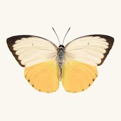 Orange Migrant Butterfly Print by Allison Trentelman | rockytopstudio.com INCREDIBLY BEAUTIFUL!! ⭕️