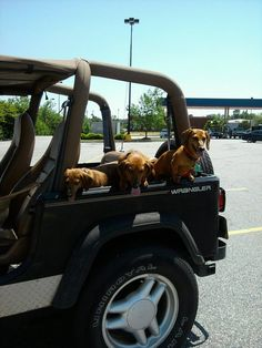Nothing like a Jeep ride to Walmart! My 3 dachshunds love the Jeep!