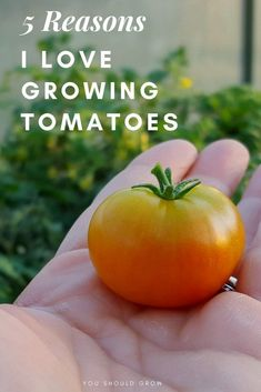 Tomato Plants Growing tomatoes: 5 reasons it's my favorite crop to grow. For me, a garden isn't complete without a crop of tomato plants. Click through to learn the top reasons I love growing tomatoes, and you will too. Growing Tomatoes From Seed, Growing Tomatoes In Containers, Grow Tomatoes, Cherry Tomatoes, Dried Tomatoes, Baby Tomatoes, Heirloom Tomatoes, Growing Vegetables, Organic Plants