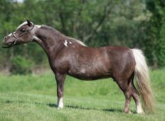 Top Ten Mare with Mike Rosauer and now a proven colorful producer! Although her beauty and balance are easily explained by her famous sire FWF Little Wardance. And in foal to a son of Destiny's in the Buff for a 2016 foal! Offered by Mini Horse Sales