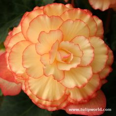 Sunburst Picotee Begonia -  planted 4/27/13 in same pot with apricot begonia... should be gorgeous this summer