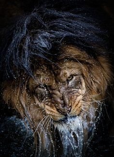 Photograph Thousand-yard Stare by Eric Esterle on 500px. Luke, an African Lion, resides at the Smithsonian National Zoological Park.  His head was submerged when the photographer approached.  He abruptly raised his head to face the photographer, thus the suspended water