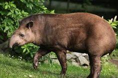 Afbeeldingsresultaat voor tapir