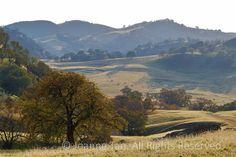 art california golden hills oak   landscape - Grazing Cows on Golden Oak Hills, CA