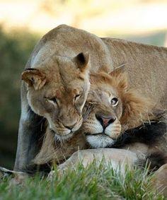 Amor de Leones