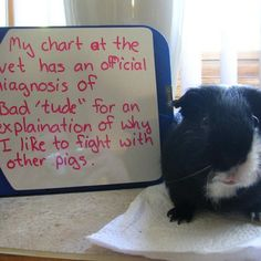 Guinea Pig Shaming- I think there might be a similar diagnosis for one of mine, haha!