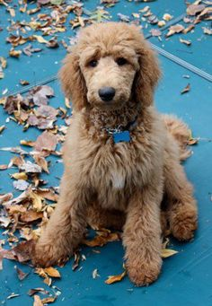 Despised poodles as good for nothing's until I met a beautiful little standard red that changed that. I plan on having one some day. Only a standard and with a teddy bear cut. None of the show cut stuff.