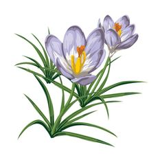 Crocus43.png ❤ liked on Polyvore featuring flowers