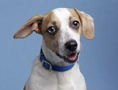 Adopt Ben Bridge, a lovely 5 months 20 days Dog available for adoption at Petango.com.  Ben Bridge is a Terrier / Beagle and is available at the Homeward Pet Adoption Center in WOODINVILLE, WA