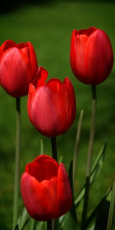 Red tulips are the first flowers I remember. Mother planted them along both sides of the curved walkway to our house and when they bloomed, the path became magical. I wonder if that is why red was my favorite color as a child.