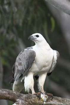White-bellied Sea-eagle (Haliaeetus leucogaster) Adult bird perched high in tree with recently caught fish Locality Brunswick Heads, New S...