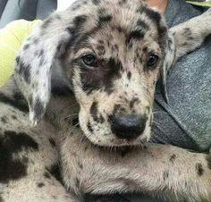 Beautiful Merle Great Dane Puppy                                                                                                                                                      Plus