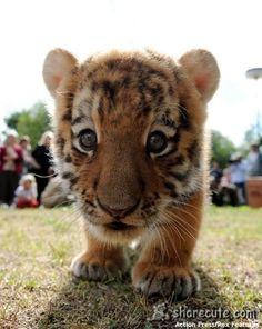 Royal Lion Silver Teardrop Necklace Bengal Tiger Splash