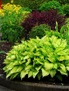 Brighten up your shade garden with chartreuse hostas and burgandy-red bushes. Hosta Plants, Shade Plants, Garden Plants, Outdoor Plants, Outdoor Gardens, Shade Garden, Dream Garden, Lawn And Garden, Garden Inspiration