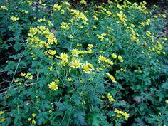 Chrysanthemum | Chrysanthemum indicum L.