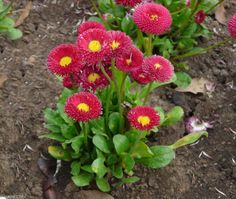 "300 Bellis perennis Seeds - Red ""Super Enorma"" - English Daisy"