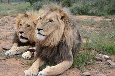 Охота на Большую пятерку в Africa Karoo Hunting