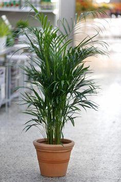 Kultapalmu on yksi ilmaa puhdistavista kasveista.