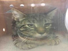 BLOUE - A1089078 - - Brooklyn  ***TO BE DESTROYED 09/16/16*** PERFECTLY HEALTHY BLOUE IS GOING TO BE KILLED FOR NO REASON AT ALL! BLOUE was trapped and dumped in the ACC. He is a healthy tabby and very handsome too – although the horrible photo doesn't let you see him very well. BLOUE allowed all handling but is nervous and tense in the shelter as any cat would be. He was rated EXPNOCHILD and sent right off to tonight's list. BLOUE is a good boy and once i