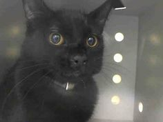 TO BE DESTROYED 3/10/14 ** BABY ALERT!!! ONLY 5 MONTHS OLD! Brooklyn Center  My name is SUNSHINE. My Animal ID # is A0993200. I am a male black domestic sh mix. The shelter thinks I am about 5 MONTHS old.  I came in the shelter as a STRAY on 03/06/2014 from NY 11210, owner surrender reason stated was STRAY https://www.facebook.com/PetsOnDeathRow/photos/a.576546742357162.1073741827.155925874419253/761343607210807/?type=1&relevant_count=1