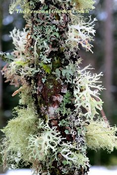Lichen in the snowy garden.