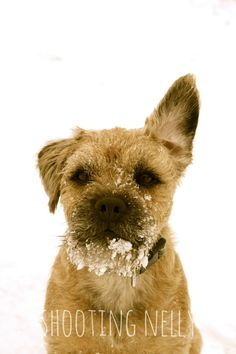 Border terrier Christmas card cute dog in the by Shootingnelly