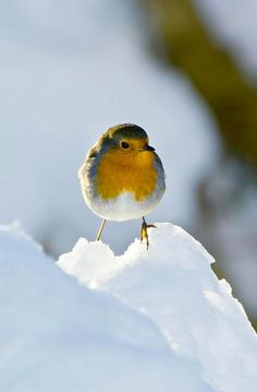 A robin in the snow, perfect winter picture  ...♥♥...