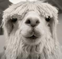 funny alpaca faces - Google Search