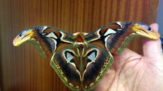 If you've never seen an Atlas Moth, you need to see this, they're amazing!
