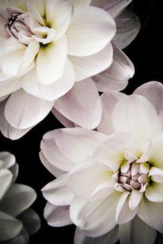 Pale Pink Floating Dahlias | Beautiful