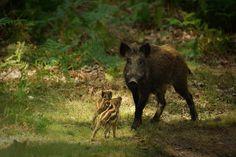 Wildschwein - Google zoeken
