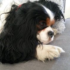Sleepy Tricolor Cavalier King Charles Spaniel
