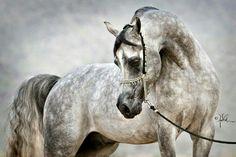 Lovely Dapple Grey Arabian Horse