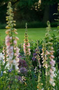 I love Foxgloves. Wish they were perennials and not biennials. Just love how the sunlight makes the flowers golden.
