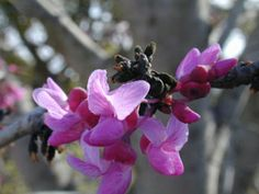 Planting in front yard: Cercis canadensis var. texensis (Texas redbud) - ornamental tree native to Austin, TX - can't wait! Judas Tree, Texas Gardening, Fine Gardening, Organic Gardening, Dry Shade Plants, Eastern Redbud, Texas Plants, How To Attract Hummingbirds, Attracting Hummingbirds