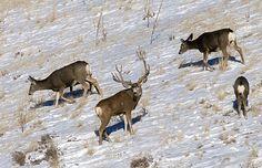 Mule Deer Herd Mule Deer Buck, Mule Deer Hunting, Alaska, Big Deer, Big Horn Sheep, Deer Pictures, Big Game Hunting, Deer Family, Animal Facts