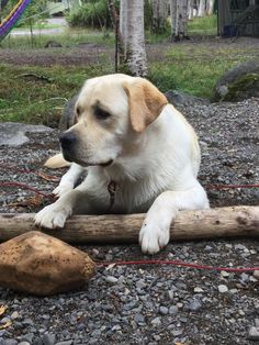 Labs, Labrador Retriever, Yellow, Animals, Beautiful, Labrador Retrievers, Animais, Animales, Animaux