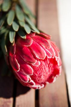 Protea flower Protea Art, Protea Flower, Unusual Flowers, Beautiful Flowers, Creative Notebooks, Flower Pictures, Flower Wallpaper, Botanical Illustration, Trees To Plant